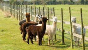 Il gruppo di alpaga vicino recinta un marrone e un bianco stanti del campo Immagine Stock