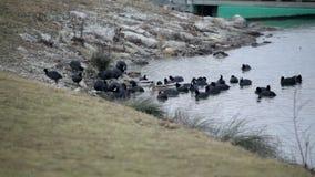 Il gruppo di anatre si è riunito sul litorale per beccare archivi video