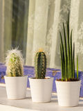 Il gruppo di cactus pianta all'aperto Fotografia Stock