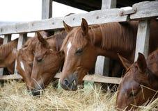 Il gruppo di cavalli mangia il fieno da una rastrelliera Immagine Stock