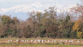 Il gruppo di cicogne sul campo prepara a migratore stock footage