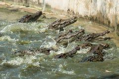 Il gruppo di coccodrillo mangia un pollo nello stagno immagine stock