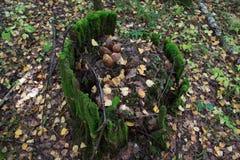 Il gruppo di funghi su un muschio ha coperto il ceppo di albero immagine stock