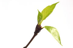 Il gruppo di germogli e di molla copre di foglie sul pioppo del ramoscello fotografia stock libera da diritti