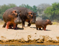 Il gruppo di ippopotami sta sulla banca botswana Delta di Okavango Immagini Stock Libere da Diritti
