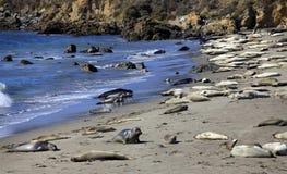 Il gruppo di leoni di mare Fotografia Stock Libera da Diritti