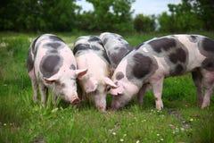 Il gruppo di maiali che coltivano che alza l'allevamento nella fattoria degli animali rurale scen Fotografia Stock Libera da Diritti