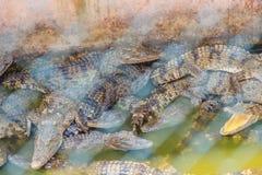 Il gruppo di molti coccodrilli sta prendendo il sole nello stagno concreto Croco Immagine Stock Libera da Diritti