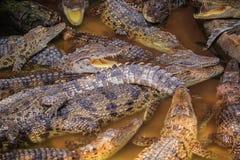 Il gruppo di molti coccodrilli sta prendendo il sole nello stagno concreto Croco Fotografia Stock