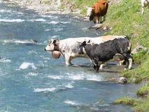 Il gruppo di mucche che attraversano il fiume alpino in montagna pascola Immagine Stock Libera da Diritti