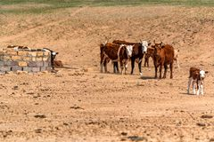 Il gruppo di mucche sta su terra asciutta Immagine Stock