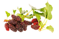 Il gruppo di mulberrys fruttifica dentro isolato su bianco Immagini Stock