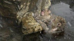 Il gruppo di neve monkeys il rilassamento in una sorgente calda naturale, Jigokudani, Nagano, Giappone archivi video