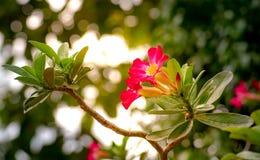 Il gruppo di obesum del Adenium o la rosa del deserto, decorazione fiorisce crescere nel giardino a casa fotografia stock