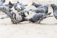 Il gruppo di piccioni combatte più per alimento immagine stock