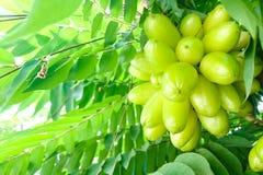 Il gruppo di pling di Taling o il bilimbi Linn di Averhoa o di Bilimbi o i frutti acidi sono ancora sul bastone marrone È molto a fotografia stock