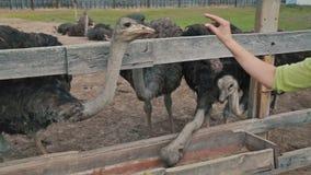 Il gruppo di struzzi mangia dalla depressione su un'azienda agricola dello struzzo archivi video