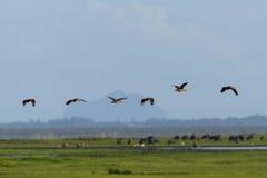 Il gruppo di uccelli vola in cielo blu Fotografia Stock Libera da Diritti