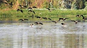 Il gruppo di whislening indiano ducks l'atterraggio nel lago Fotografie Stock Libere da Diritti