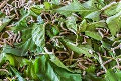 Il gruppo fase delle larve del baco da seta di quinta che mangia il gelso va Fotografia Stock Libera da Diritti