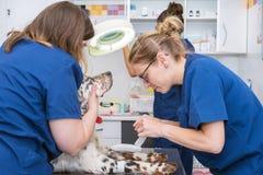 Il gruppo veterinario dispone la fasciatura sterile in zampa del cane fotografia stock