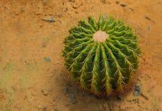 Il grusonii di Echinocactus si sviluppa sulla sabbia Immagine Stock
