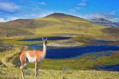 Il guanaco affascinante sulla riva Fotografia Stock Libera da Diritti