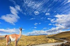 Il guanaco fidantesi - piccolo cammello Fotografia Stock