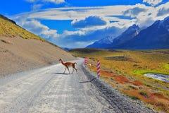 Il guanaco locale lucido attraversa la strada della ghiaia Fotografia Stock Libera da Diritti