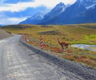 Il guanaco - piccolo cammello immagine stock