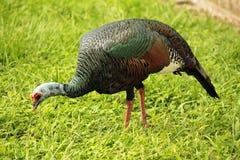 Il Guatemala, America Centrale, uccello Immagine Stock Libera da Diritti