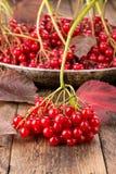 Il guelder rosso è aumentato opulus di viburno delle bacche fotografie stock