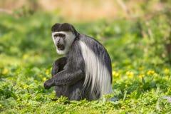 Il guereza avvolto inoltre sa come la scimmia di colobus in bianco e nero Fotografie Stock