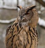 Il gufo comune, otus del Asio in un parco naturale tedesco fotografia stock libera da diritti