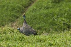Il Guineafowl munito di casco Uccello selvaggio in Africa Lago Manyara Natio Fotografia Stock Libera da Diritti