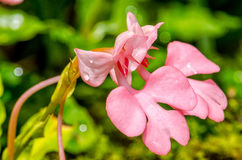 Il Habenaria Rosa-Lipped di Rhodocheila (Dragon Flower improvviso rosa) Fotografia Stock