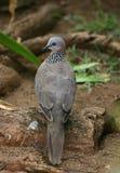 Il hawaiano ha macchiato la colomba Immagini Stock