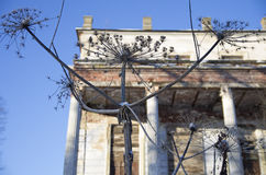 Il heracleum ha allungato i rami asciutti Fotografia Stock