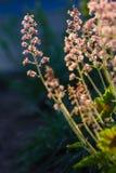 Il Heuchera fiorisce il rosa su un'aiola nel giardino dell'estate fotografie stock