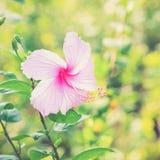 Il hibicus rosa vivo sta fiorendo Immagini Stock Libere da Diritti