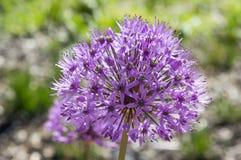 Il hollandicum dell'allium, gruppo di cipolla ornamentale persiana porpora fiorisce in fioritura Fotografia Stock Libera da Diritti
