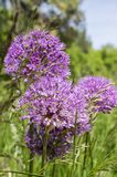 Il hollandicum dell'allium, gruppo di cipolla ornamentale persiana porpora fiorisce in fioritura Fotografia Stock
