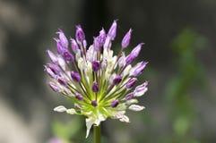 Il hollandicum dell'allium, gruppo di cipolla ornamentale persiana porpora fiorisce in fioritura Immagine Stock