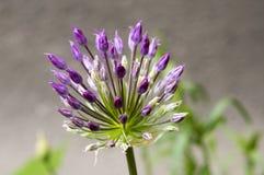 Il hollandicum dell'allium, gruppo di cipolla ornamentale persiana porpora fiorisce in fioritura Immagini Stock Libere da Diritti