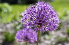 Il hollandicum dell'allium, gruppo di cipolla ornamentale persiana porpora fiorisce in fioritura Fotografie Stock Libere da Diritti