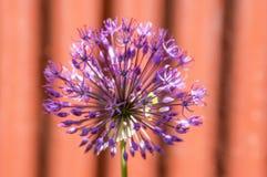 Il hollandicum dell'allium, gruppo di cipolla ornamentale persiana porpora fiorisce in fioritura, recinto rosso, Fotografia Stock