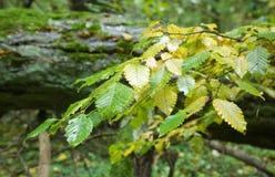 il hornbeam d'autunno lascia bagnato immagine stock libera da diritti