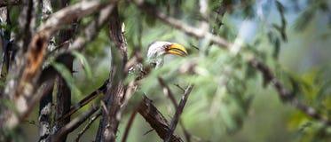 Il Hornbill Giallo-fatturato del sud Immagini Stock