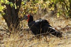 Il Hornbill a terra del sud Immagine Stock Libera da Diritti