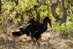 Il Hornbill a terra del sud Immagine Stock